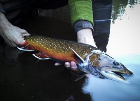 MNST - coaster brook trout